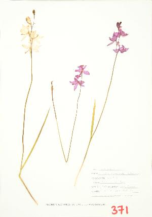 (Calopogon - UD 027)  @11 [ ] Copyright (2009) Unspecified University of Guelph BIO Herbarium