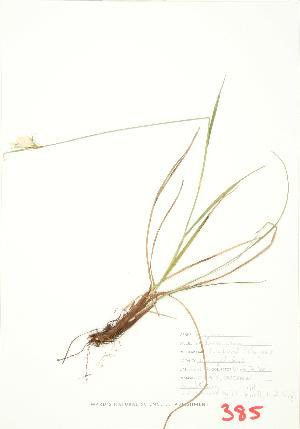 (Eriophorum viridicarinatum - UD 012)  @11 [ ] Copyright (2009) Steven Newmaster University of Guelph BIO Herbarium