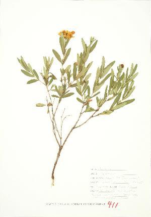 (Hypericum kalmianum - JEM 109)  @11 [ ] Copyright (2009) Steven Newmaster University of Guelph BIO Herbarium