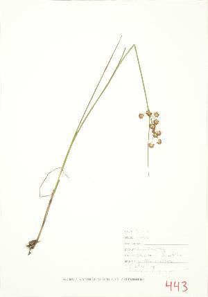 (Juncus nodosus - JEM 128)  @11 [ ] Copyright (2009) Steven Newmaster University of Guelph BIO Herbarium