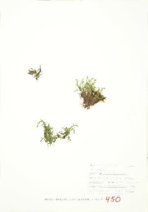 (Selaginella eclipes - JEM 121)  @11 [ ] Copyright (2009) Steven Newmaster University of Guelph BIO Herbarium