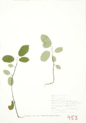 (Amelanchier sanguinea - MMD 058)  @11 [ ] Copyright (2009) Unspecified University of Guelph BIO Herbarium