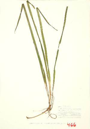 (Vallisneria - ABM 013)  @11 [ ] Copyright (2009) Steven Newmaster University of Guelph BIO Herbarium