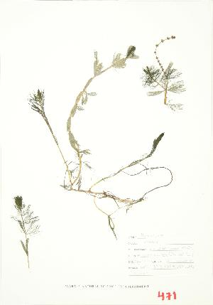 (Myriophyllum spicatum - ABM 008)  @11 [ ] Copyright (2009) Unspecified University of Guelph BIO Herbarium