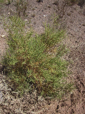 (Salicornia sp. 1 - CRUBST38-006)  @11 [ ] Copyright (2014) Cintia Souto Laboratorio Ecotono - CRUB- UNC
