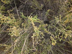 (Salicornia sp. 2 - CRUBST39-001)  @11 [ ] Copyright (2014) Cintia Souto Laboratorio Ecotono - CRUB- UNC