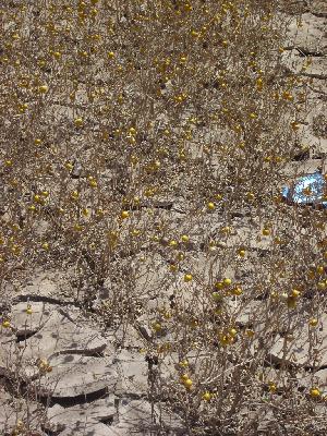 (Solanum elaeagnifolium - CRUBST26-107)  @11 [ ] Copyright (2016) Cintia Souto Laboratorio Ecotono - CRUB- UNC