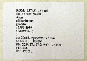 (Anas gibberifrons - 1B-956)  @12 [ ] CreativeCommons - Attribution (2010) Erika Tavares Royal Ontario Museum