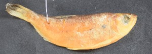( - UFMT-7430)  @11 [ ] CreativeCommons - Attribution Share-Alike (2017) Unspecified Coleção de Peixes da Universidade Federal de Mato Grosso