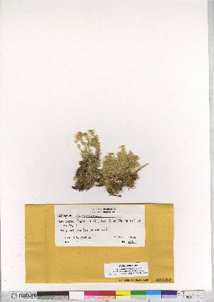 (Sphagnum bartlettianum - CCDB-24813-H05)  @11 [ ] CreativeCommons - Attribution Non-Commercial Share-Alike (2015) Canadian Museum of Nature Canadian Museum of Nature