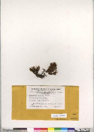 (Cinclidium arcticum - CCDB-28047-E12)  @11 [ ] CreativeCommons - Attribution Non-Commercial No Derivatives (2016) Canadian Museum of Nature Canadian Museum of Nature