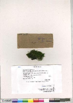 (Hygroamblystegium - CCDB-28052-G04)  @11 [ ] CreativeCommons - Attribution Non-Commercial No Derivatives (2016) Canadian Museum of Nature Canadian Museum of Nature