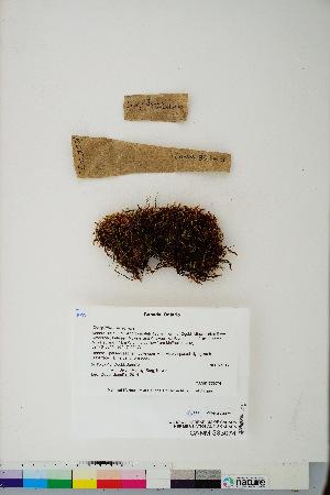 (Scorpidium revolvens - CCDB-28094-A07)  @11 [ ] CreativeCommons - Attribution Non-Commercial No Derivatives (2016) Canadian Museum of Nature Canadian Museum of Nature