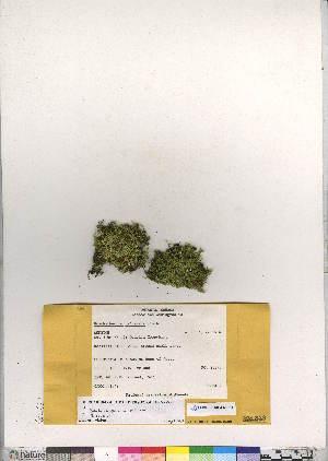 (Brachythecium calcareum - CCDB-28094-F12)  @11 [ ] CreativeCommons - Attribution Non-Commercial No Derivatives (2016) Canadian Museum of Nature Canadian Museum of Nature
