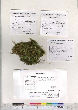 (Brachythecium oxycladon - CCDB-28095-C03)  @11 [ ] CreativeCommons - Attribution Non-Commercial No Derivatives (2016) Canadian Museum of Nature Canadian Museum of Nature