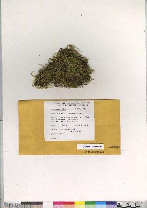 (Brachythecium starkei - CCDB-28095-F06)  @11 [ ] CreativeCommons - Attribution Non-Commercial No Derivatives (2016) Canadian Museum of Nature Canadian Museum of Nature