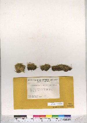 (Brachythecium groenlandicum - CCDB-28095-G02)  @11 [ ] CreativeCommons - Attribution Non-Commercial No Derivatives (2016) Canadian Museum of Nature Canadian Museum of Nature