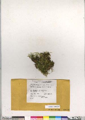 (Brachythecium hozingeri - CCDB-28095-H02)  @11 [ ] CreativeCommons - Attribution Non-Commercial No Derivatives (2016) Canadian Museum of Nature Canadian Museum of Nature