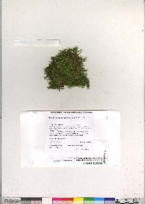 (Brachythecium salebrosum - CCDB-28095-H06)  @11 [ ] CreativeCommons - Attribution Non-Commercial No Derivatives (2016) Canadian Museum of Nature Canadian Museum of Nature