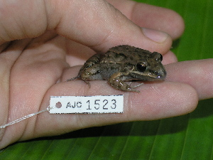 (Leptodactylus fragilis - AJC 1523)  @14 [ ] CreativeCommons - Attribution Non-Commercial Share-Alike (2010) Andrew J. Crawford Smithsonian Tropical Research Institute