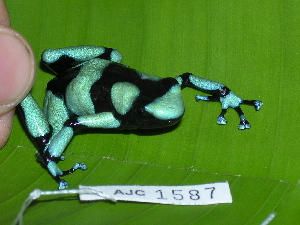 (Dendrobates - AJC 1587)  @14 [ ] CreativeCommons - Attribution Non-Commercial Share-Alike (2010) Copyright Andrew J. Crawford Smithsonian Tropical Research Institute