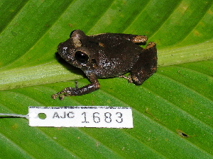 (Pristimantis aff. taeniatus 1 - AJC 1683)  @14 [ ] CreativeCommons - Attribution Non-Commercial Share-Alike (2010) Andrew J. Crawford Smithsonian Tropical Research Institute