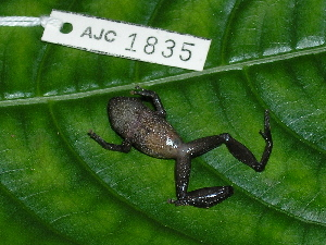 (Pristimantis taeniatus - AJC 1835)  @15 [ ] CreativeCommons - Attribution Non-Commercial Share-Alike (2010) Andrew J. Crawford Smithsonian Tropical Research Institute