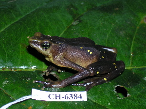 (Atelopus glyphus - CH 6384)  @14 [ ] CreativeCommons - Attribution Non-Commercial Share-Alike (2010) Copyright César Jaramillo Smithsonian Tropical Research Institute