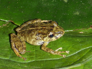 (Pristimantis cf. latidiscus - CH 6456)  @14 [ ] CreativeCommons - Attribution Non-Commercial Share-Alike (2010) Andrew J. Crawford Smithsonian Tropical Research Institute