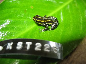 (Ranitomeya lamasi - KST_0226)  @14 [ ] CreativeCommons - Attribution Non-Commercial Share-Alike (2010) Andrew J. Crawford Smithsonian Tropical Research Institute