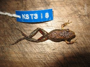 (Pristimantis toftae - KST_0318)  @11 [ ] CreativeCommons - Attribution Non-Commercial Share-Alike (2010) Andrew J. Crawford Smithsonian Tropical Research Institute