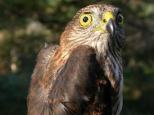 (Accipiter striatus - MBO 1212-58628)  @14 [ ] Copyright (2010) Unspecified Unspecified