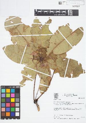 (Bombacoideae - IAvH - JAC2159)  @11 [ ] Copyright (2015) Instituto de Investigacion Alexander von Humboldt (IAvH) Instituto de Investigacion Alexander von Humboldt (IAvH)