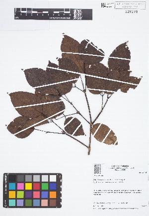 (Platymiscium - IAvH - JAC2186)  @11 [ ] Copyright (2015) Instituto de Investigacion Alexander von Humboldt (IAvH) Instituto de Investigacion Alexander von Humboldt (IAvH)