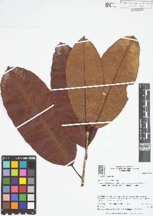 (Ficus americana - IAvH - RG2409)  @11 [ ] Copyright (2015) Instituto de Investigacion Alexander von Humboldt (IAvH) Instituto de Investigacion Alexander von Humboldt (IAvH)