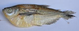 (Triportheus pantanensis - LBPN-44489)  @14 [ ] Unspecified (default): All Rights Reserved  Unspecified Unspecified