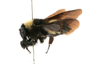 (Bombus pensylvanicus - 30128)  @14 [ ] CreativeCommons - Attribution Non-Commercial Share-Alike (2010) Cory S. Sheffield York University