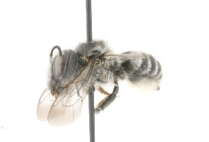 (Megachile brevis pseudobrevis - 32453)  @13 [ ] CreativeCommons - Attribution Non-Commercial Share-Alike (2010) Cory S. Sheffield York University