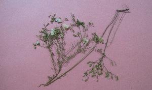 (Solanaceae - IBONE-VGSN-100)  @11 [ ] Copyright (2014) Instituto de Botánica del Nordeste (IBONE) Instituto de Botánica del Nordeste (IBONE)