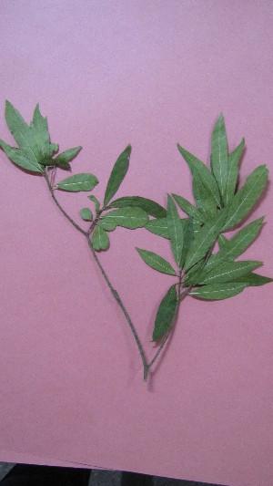 (Tabernaemontana australis - IBONE-VGSN-19)  @11 [ ] Copyright (2014) Instituto de Botánica del Nordeste (IBONE) Instituto de Botánica del Nordeste (IBONE)