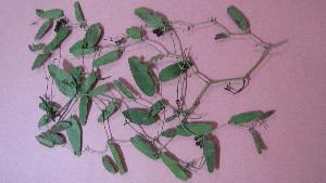 (Smilacaceae - IBONE-VGSN-30)  @11 [ ] Copyright (2014) Instituto de Botánica del Nordeste (IBONE) Instituto de Botánica del Nordeste (IBONE)
