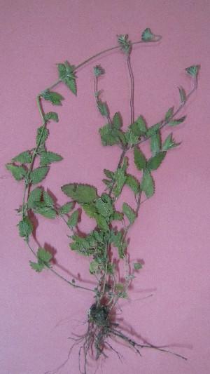 (Glandularia peruviana - IBONE-VGSN-47)  @11 [ ] Copyright (2014) Instituto de Botánica del Nordeste (IBONE) Instituto de Botánica del Nordeste (IBONE)