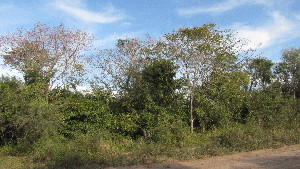 (Handroanthus - IBONE-VGSN-77)  @11 [ ] Copyright (2014) Instituto de Botánica del Nordeste (IBONE) Instituto de Botánica del Nordeste (IBONE)