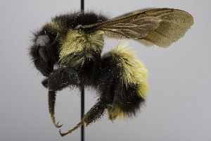 (Bombus weisi - CCDB-01557 H06)  @14 [ ] Unspecified (default): All Rights Reserved  Unspecified Unspecified