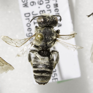 (Megachile nr. ericetorum - CCDB-03753 G02)  @11 [ ] CreativeCommons - Attribution Non-Commercial Share-Alike (2010) Unspecified York University