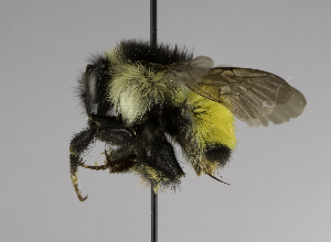 (Bombus sp - CCDB-01556 C02)  @14 [ ] Unspecified (default): All Rights Reserved  Unspecified Unspecified