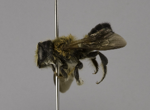 (Megachile laticeps - CCDB-01563 E03)  @14 [ ] CreativeCommons - Attribution Non-Commercial Share-Alike (2010) Packer Collection at York University York University