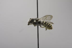 (Megachile chelostomoides - B03772 E05-MEX)  @12 [ ] CreativeCommons - Attribution Non-Commercial Share-Alike (2010) Unspecified York University