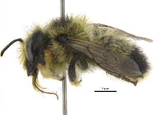 (Megachile melanophaea - 06717C08-YT)  @16 [ ] CreativeCommons - Attribution Non-Commercial Share-Alike (2015) BIO Photography Group Biodiversity Institute of Ontario