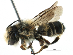 (Megachile KEN15 - 06736B07-KEN)  @14 [ ] CreativeCommons - Attribution Non-Commercial Share-Alike (2016) CBG Photography Group Centre for Biodiversity Genomics
